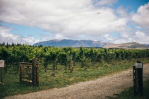 A summer's day amongst the vineyards of North Canterbury